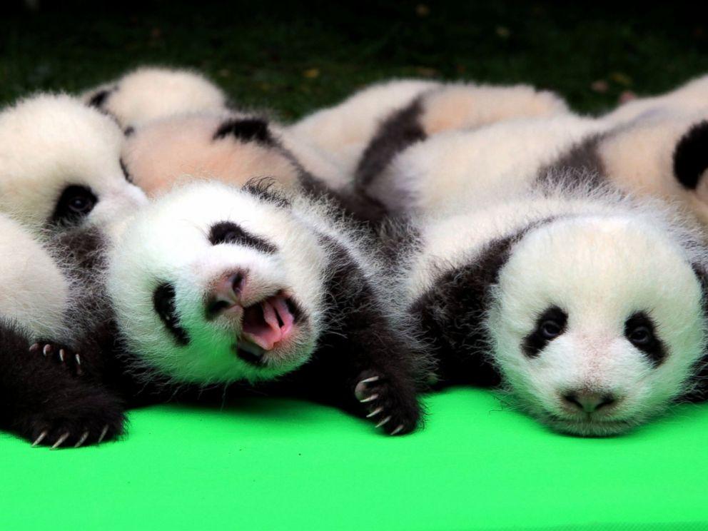 PHOTO: About 23 giant pandas born in 2016 are seen on a display at the Chengdu Research Base of Giant Panda Breeding in Chengdu, Sichuan province, China, Sept. 29, 2016.