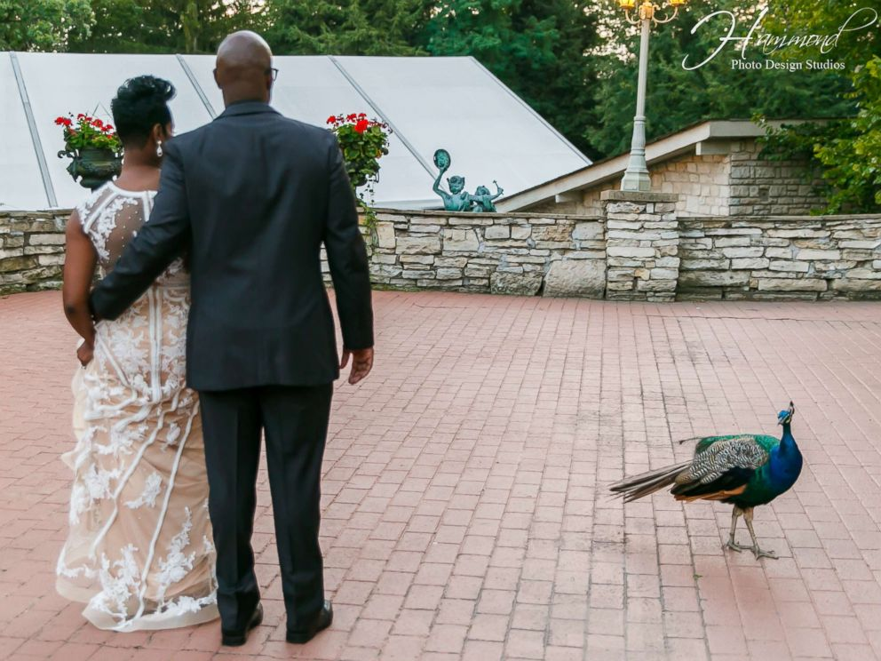 PHOTO: A peacock photobombed the wedding photos of Tamatha and Emile Conway on Aug. 25, 2017 at Meyers Castle in Dyer, Indiana.