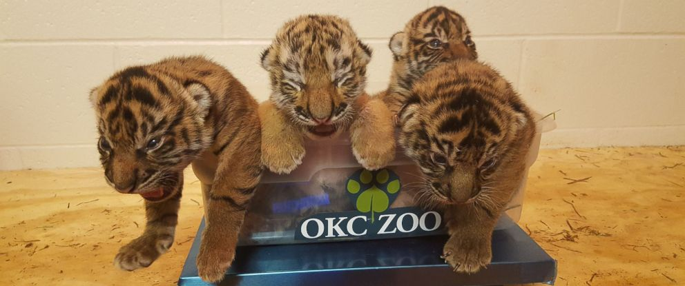 PHOTO: A lone tiger cub from the Philadelphia Zoo was successfully adopted into a littler of Sumatran tiger cubs at the Oklahoma City Zoo.