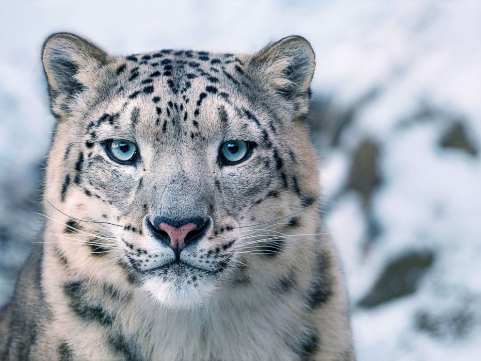 IUCN Snow Leopard Threat Level: Endangered