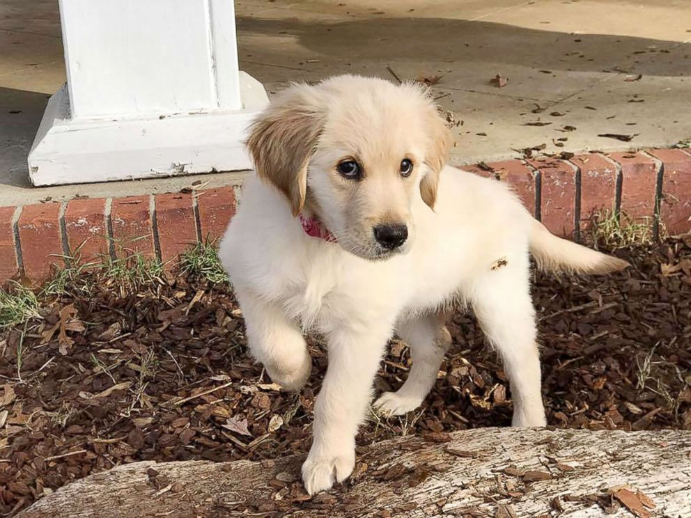 PHOTO: Clementine, a golden retriever puppy, was purchased with donations from high school students.
