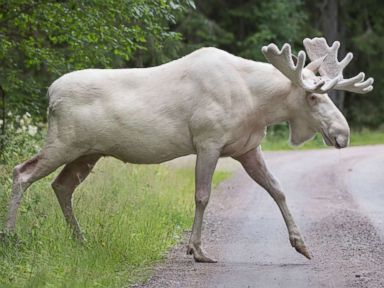 A rare white moose is spotted in Sweden