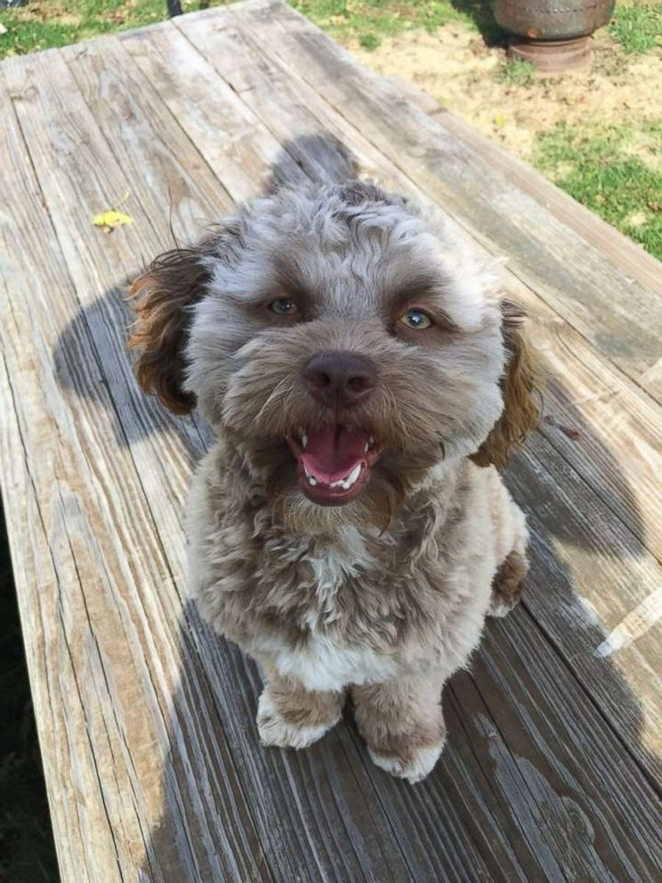 PHOTO: Yogi, a one-year-old shih poo, has become a viral internet sensation for his human-like features.