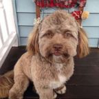 Yogi, a one-year-old shih poo, has become a viral internet sensation for his human-like features.