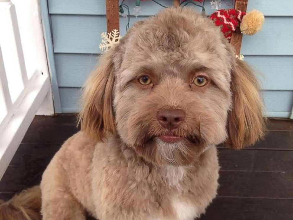 PHOTO: Yogi, a one-year-old shih poo, has become a viral internet sensation for his human-like features.<br />