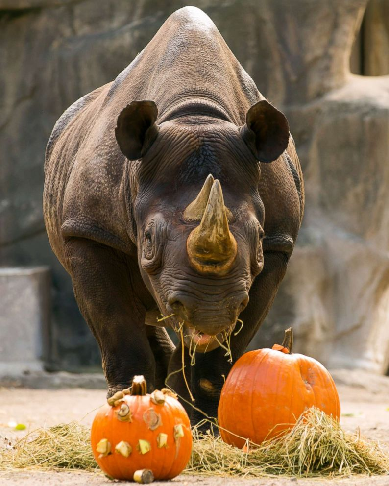 PHOTO: An eastern black rhino grazed pumpkins at the Lincoln Park Zoo in Chicago.