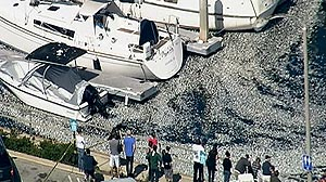 PHOTO: Billions of dead anchovies are floating on the surface of the water at King Harbor in Redondo Beach.