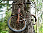 PHOTO: A bicycle is suspended in a tree, Vashon Island, Wash.