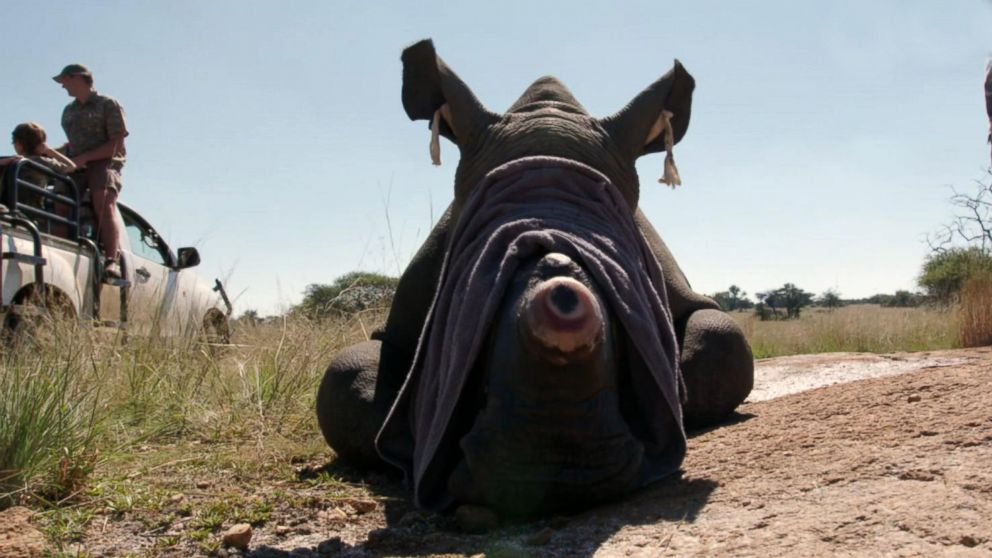 VIDEO: Saving rhinos is risky business in South Africa