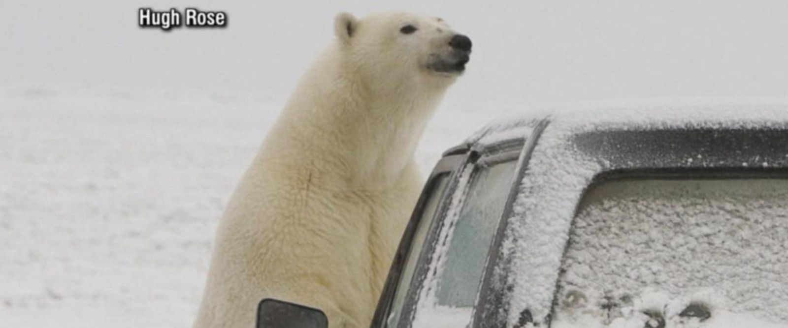 VIDEO: Polar bears descend on Alaskan village, causing tourist boom: Part 1
