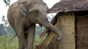 PHOTO An elephant on a rampage rips apart a straw hut in a village on the Sundarban islands in India.