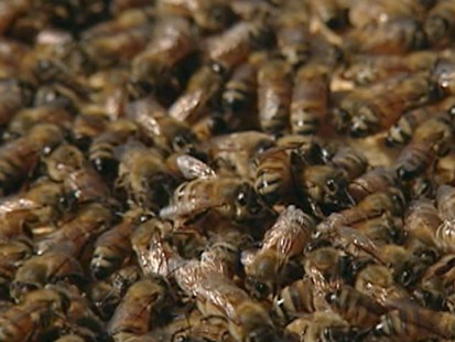 VIDEO: The Dangers of City Bee Keeping