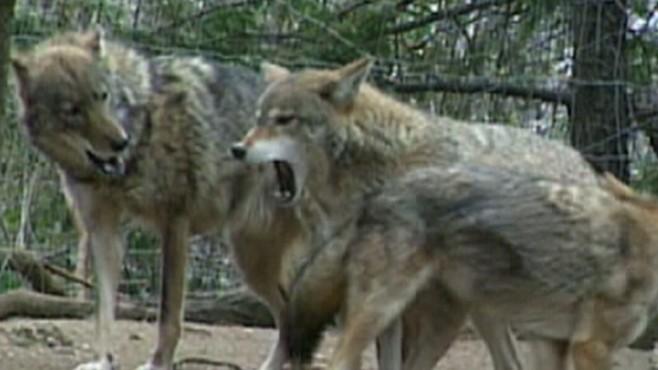 Nat Geo: Coyote vs. Man