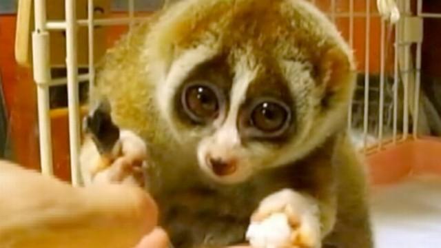 Slow Loris: Endangered for Being Cute