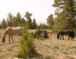 "VIDEO: ""Nightlines"" Bill Weir gives a preview of his report on wild horses in Montana."
