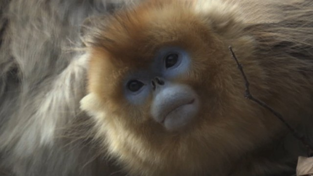 Tracking China's Rare Golden Snub-Nosed Monkey