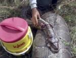 Giant Pythons Invade Florida Swamps