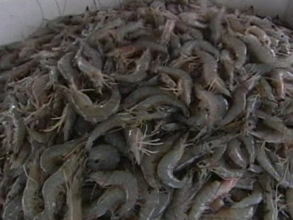 Gulf Shrimp: Good Enough to Eat?