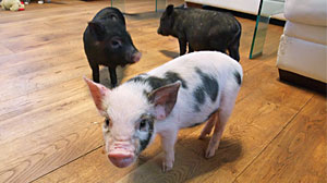Photo: Theyre Clean, Theyre Cute, and They Cuddle: Micro-Pigs Catch on as Pet of Choice for Celebs and Adventuresome Animal Lovers
