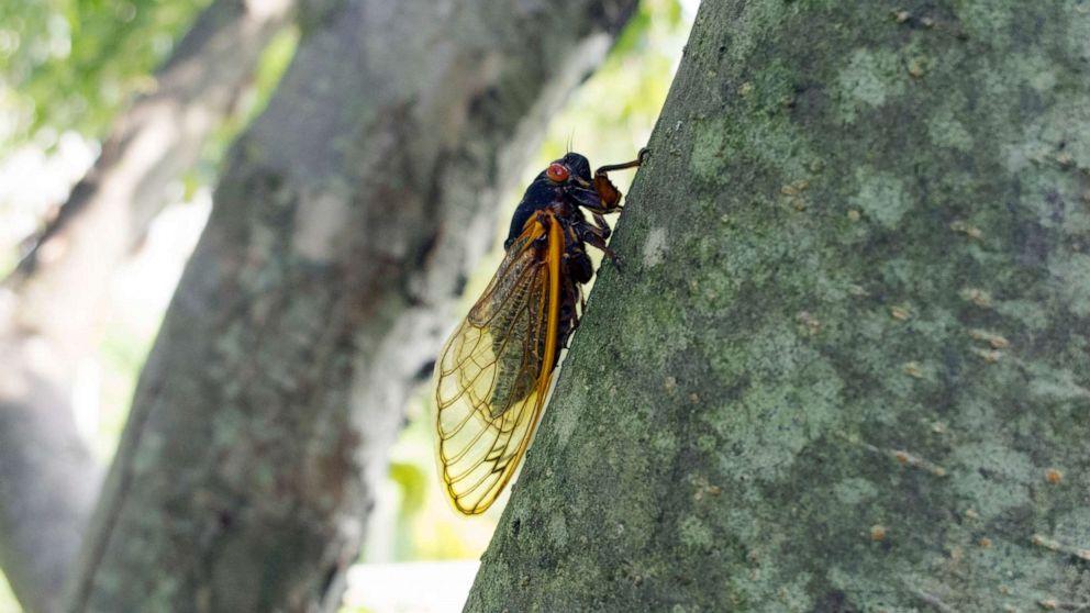 Cicada invasion: After 17 years underground, billions to emerge this spring