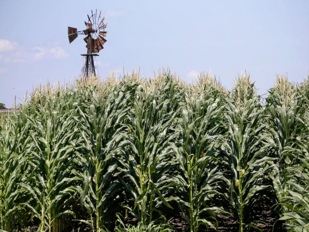 FILE - In this file photo from July 11, 2018, a corn field grows in front of an old windmill in Pacific Junction, Iowa. The closure of the government could complicate the line-up of farmers on state payments to relieve President Donald T