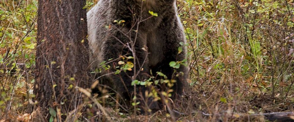 FILE - This undated file photo provided by the Montana Fish, Wildlife and Parks shows a sow grizzly bear spotted near Camas in northwestern Montana. Native American tribes are seeking permanent protections for the bruins, which would outlaw hunting r