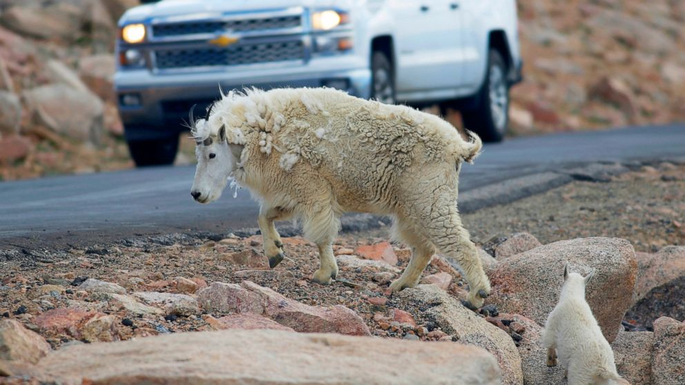Grand Teton: 36 mountain goats killed in helicopter shooting