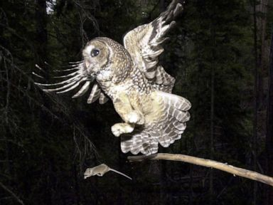 Trump administration slashes imperiled spotted owls habitat