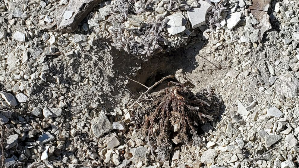 Massive damage of rare plants probed at Nevada mine site