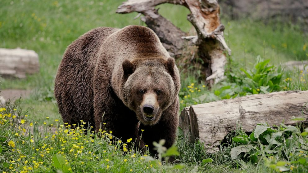 Lawsuit threatened over about-face on grizzly reintroduction