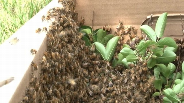 VIDEO: Bees Swarm the Pentagon