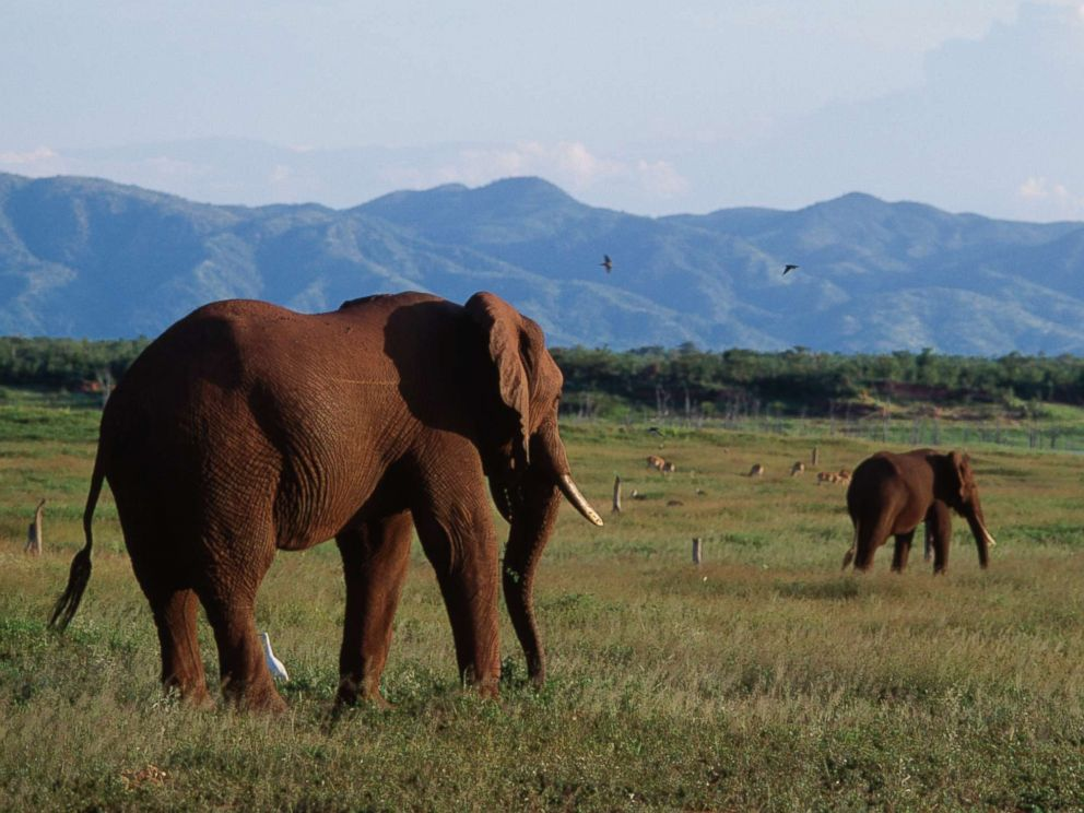 Does Hunting Elephants Help Conserve The Species Abc News