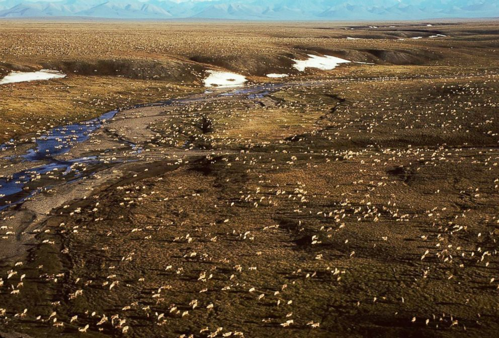 This undated aerial photo provided by U.S. Fish and Wildlife Service shows a herd of caribou on the Arctic National Wildlife Refuge in northeast Alaska.