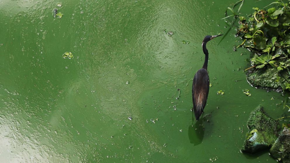 A tri-colored heron wades in an algal bloom along the wall at the Franklin Locks in Alva, June 26, 2018 in Alva, Fla.