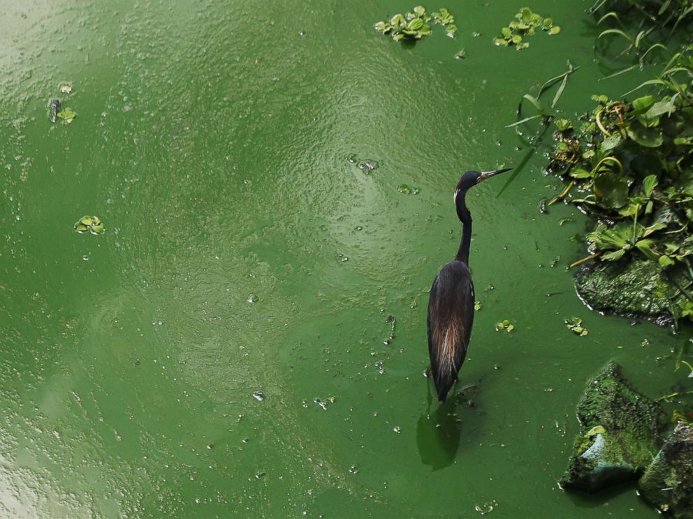 PHOTO: A tri-colored heron wades in an algal bloom along the wall at the Franklin Locks in Alva, June 26, 2018 in Alva, Fla.