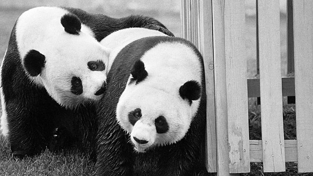 PHOTO: Pandas Hsing-Hsing and Ling-Ling