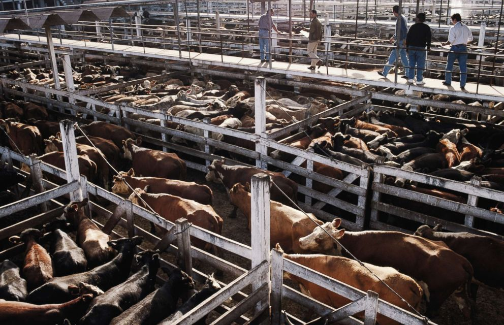 PHOTO: Cows are pictured in a stockyard.