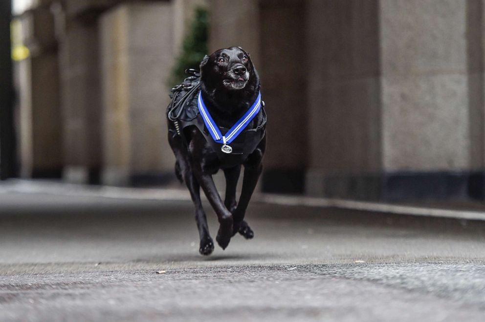 PHOTO: Special Operations Canine Hurricane on Oct. 4, 2019 in London.