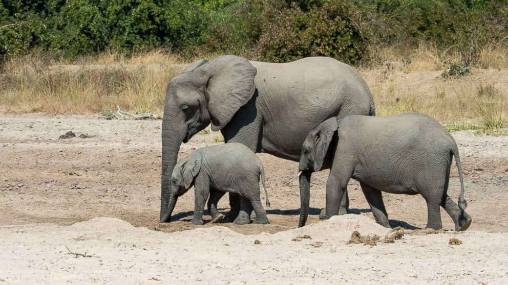 African elephants (Loxodonta africana) with baby digging for water and drinking in a dry riverbed in South Luangwa National Park in eastern Zambia, June 2, 2016.