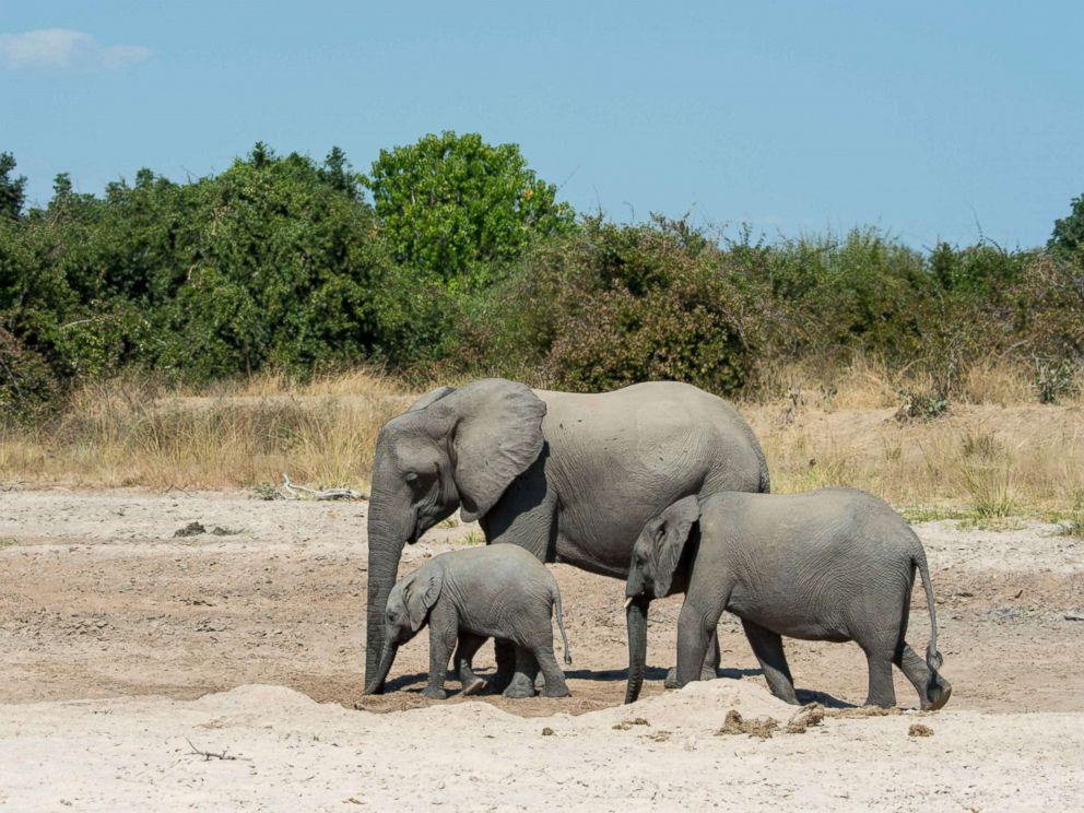 PHOTO: African elephants (Loxodonta africana) with baby digging for water and drinking in a dry riverbed in South Luangwa National Park in eastern Zambia, June 2, 2016.