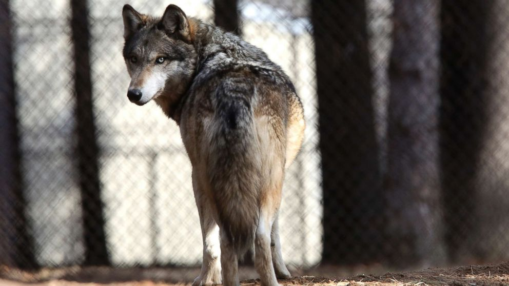 In this April 11, 2018 photo, a grey wolf stands at the Osborne Nature Wildlife Center south of Elkader, Iowa.