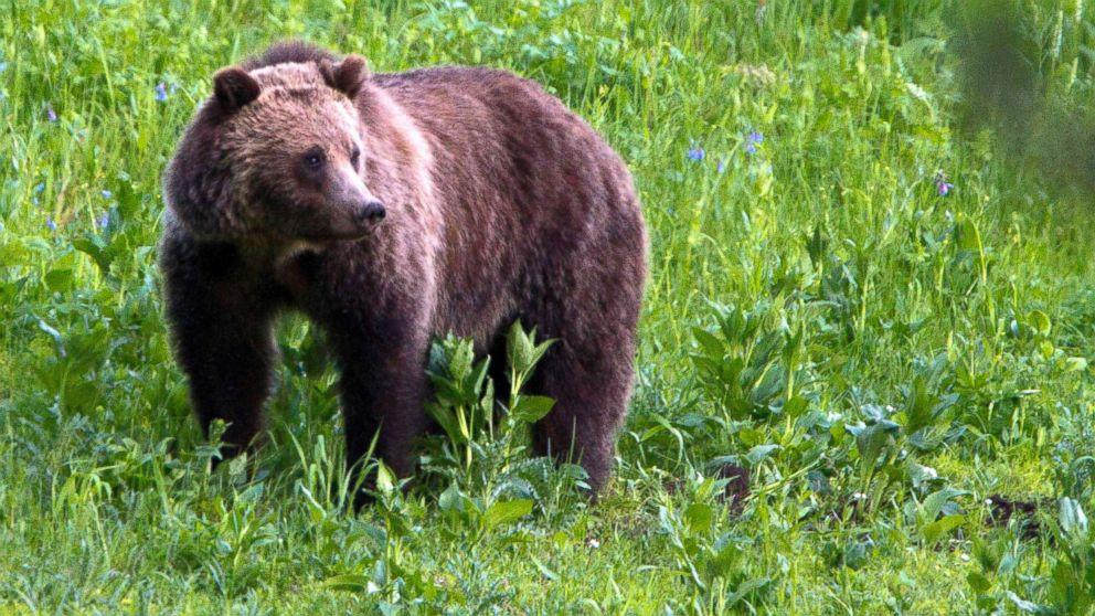 A grizzly bear roams near Beaver Lake in Yellowstone National Park, Wyo., July 6, 2011.