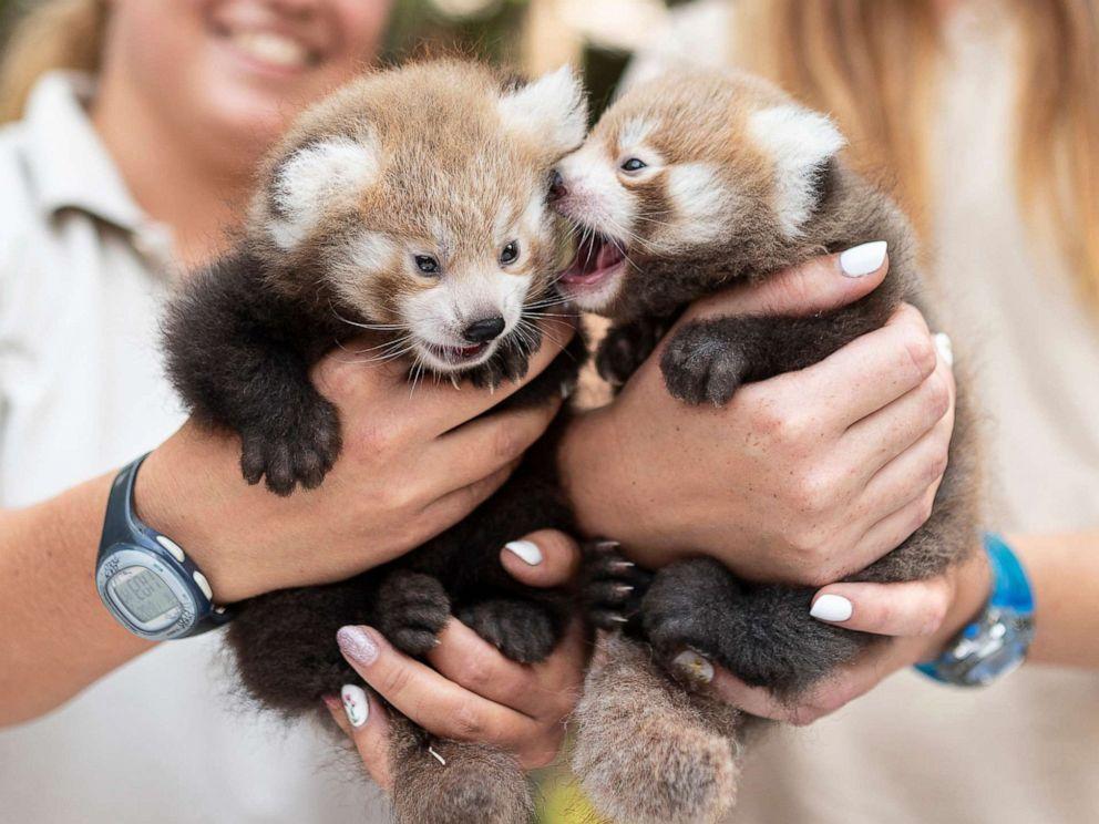 PHOTO: Veterinarians handle six-week old red panda cubs at the Nyiregyhaza Animal Park in Nyiregyhaza, Hungary, Aug. 2, 2019.