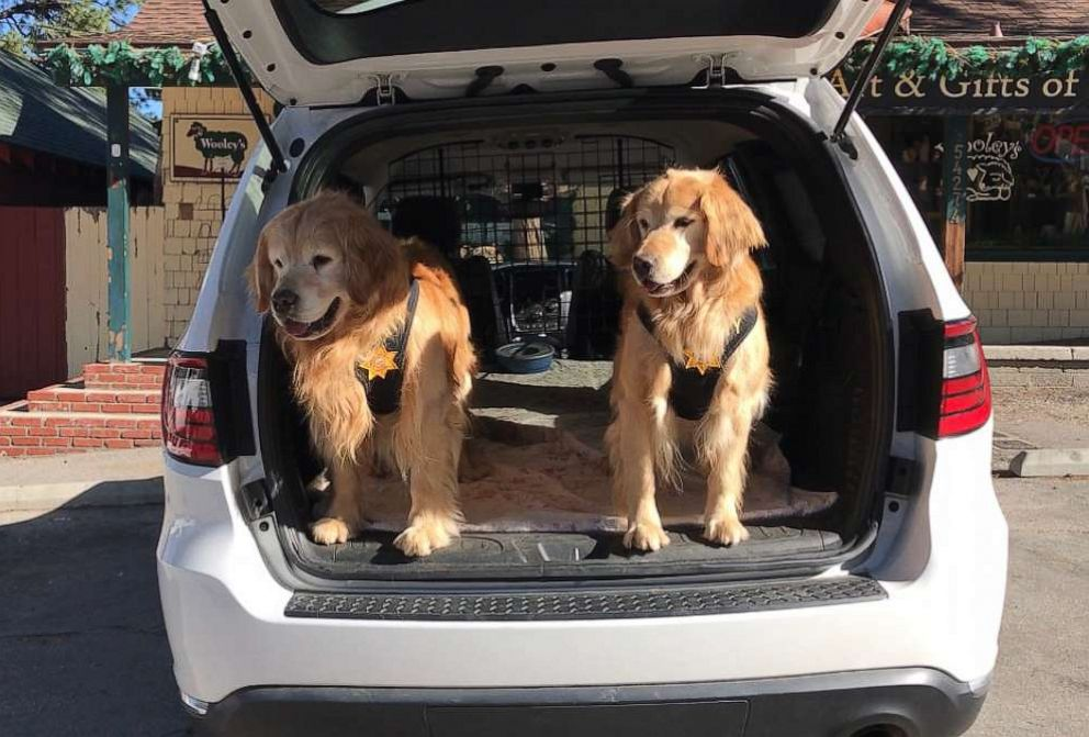 PHOTO: Idyllwild's Mayor Max II's golden retriever deputies sit in the back of their mayoral vehicle in downtown Idyllwild, Calif., June 7, 2019.