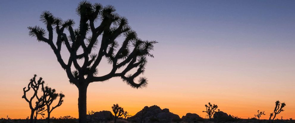PHOTO: Joshua Trees in Lost Horse Valley at sunrise in Joshua Tree National Park, Calif.