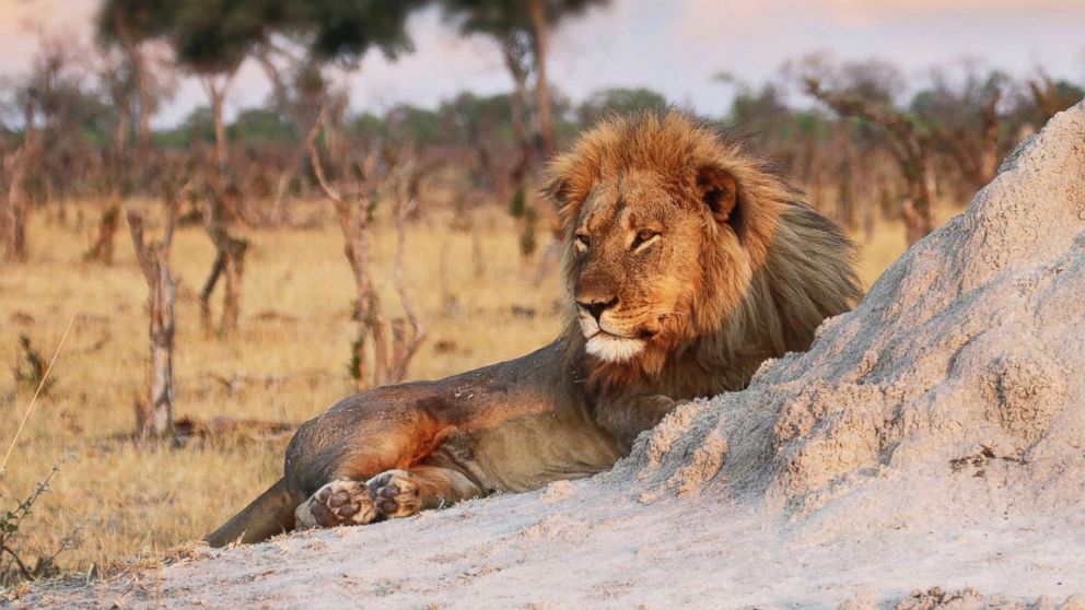 Jericho the lion is seen relaxing by an ant hill in Hwange National Park, Zimbabwe, Nov. 26, 2013.