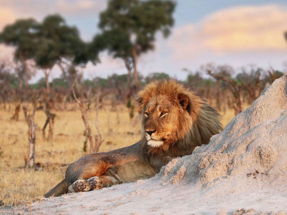 PHOTO: Jericho the lion is seen relaxing by an ant hill in Hwange National Park, Zimbabwe, Nov. 26, 2013.