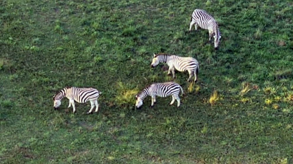 Five zebras are on the loose in Maryland   The Independent