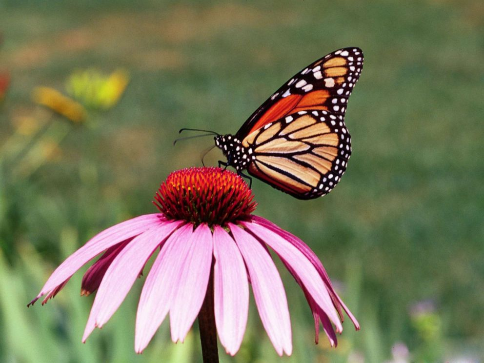 PHOTO: A monarch butterfly collects nectar from a flower in the Peoples Garden, in Washington, D.C. in 2014.