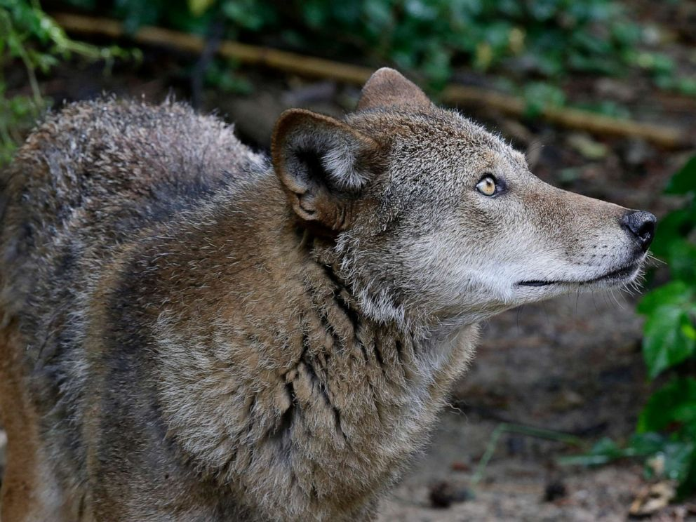 PHOTO: A red wolf roams its habitat at the Museum of Life and Science in Durham, N.C., on Monday, May 13, 2019.